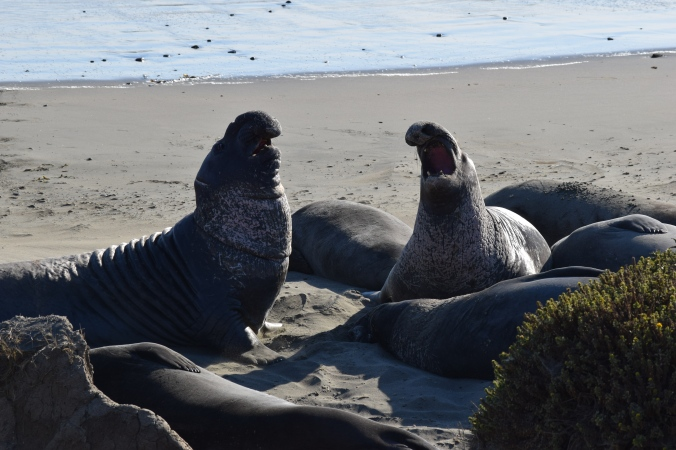 Big Seals and Big Sur (4)