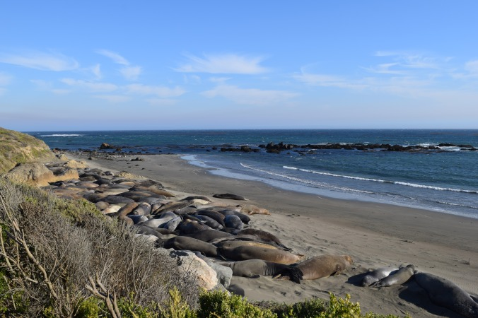 Big Seals and Big Sur (6)